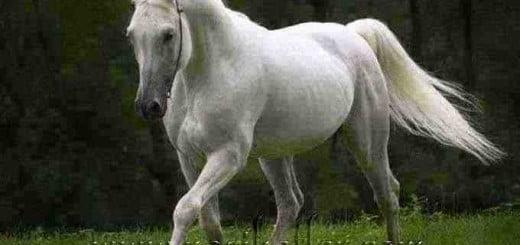 beyaz at