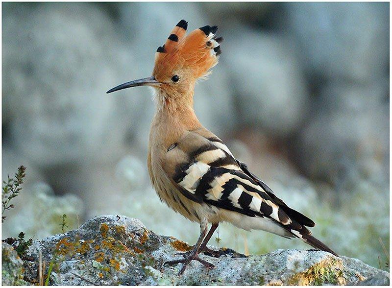 Hüdhüd kuşu