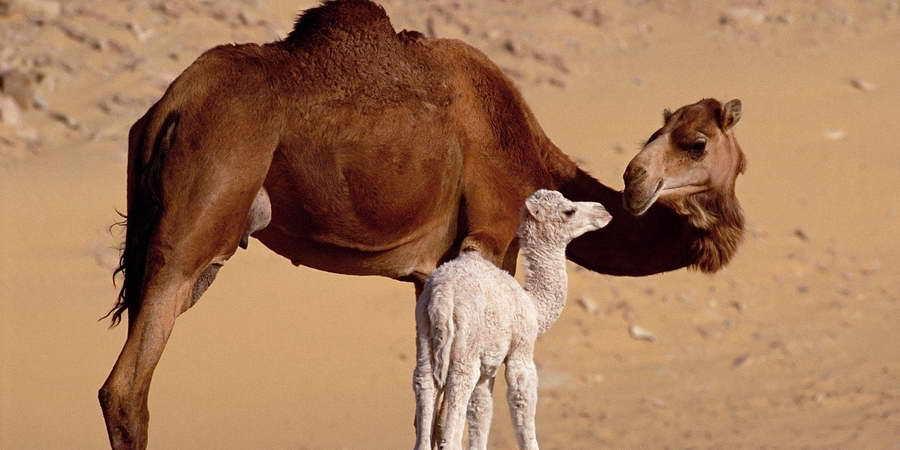 Bana bir deve ver